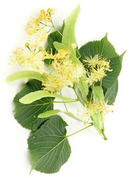 lime_flower